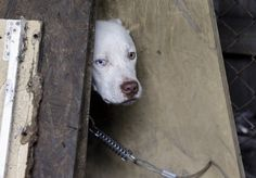 A stray dog looks out from its makeshift shelter in east Detroit. Thousands of strays are believed to live among the more than 30,000 vacant houses and abandoned buildings that dot Detroit's 139 square miles, said Tom McPhee, a filmmaker and executive director of the Ann Arbor-based World Animal Awareness Society.