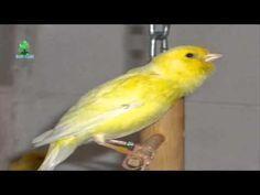 Canário belga canto campainha - Belgian canary song - YouTube
