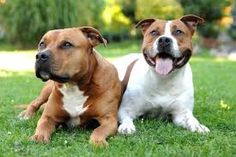 American #Staffordshire #Terrier