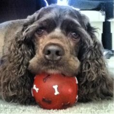 Chocolate Cocker Spaniel...This is what my dog looks like!!