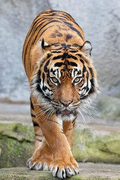 0902_WP_Zoo_4th_390 by Bodokitty on Flickr. Tiger Pictures, Animal Pictures, Beautiful Cats, Animals Beautiful, Amazing Animals, Image Tigre, Cute Tigers, Baby Tigers, Tiger Cubs