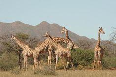 Adore the elegant and graceful #giraffe!