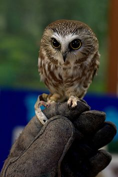 I need this... Northern Saw-whet owl by rodbotic, via Flickr