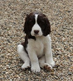 english springer spaniel puppies what a cutie pie😀🐾 English Springer Spaniel, Springer Spaniel Welpen, Springer Spaniel Puppies, Cocker Spaniel, Cute Puppies, Cute Dogs, Dogs And Puppies, Doggies, Corgi Puppies