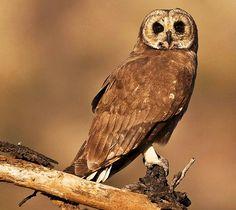 Marsh Owl Owl Photos, Owl Pictures, Owl Bird, Pet Birds, South African Birds, Owl Rocks, World Birds, Flightless Bird, Beautiful Owl
