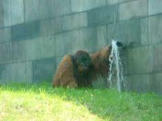 willie sally and tara the orangutans splish splash july 09 -- RIP Willy <3