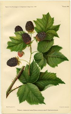 botanical print fruit vintage - Google Search