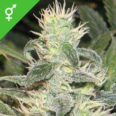 Buy Mexican Haze Feminized cannabis seeds here! Mexican Haze Feminized is a high yielding, mostly Sativa strain with Acapulco Gold genes, and will grow long buds. Girl Scout Cookies Online, Seed Shop, Buy Cannabis Online, Seeds Online, Seeds For Sale, Weed Seeds, Medical Marijuana, Mexican, Plants