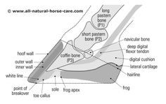 Hoof diagram - sagittal view - Learn about Barefoot Horse Hooves and Healthy Hooves here: hoof diagrams - http://www.all-natural-horse-care.com/barefoot-hoof-diagrams.html