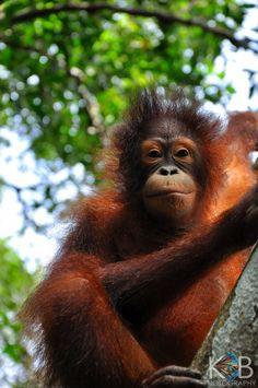 Orangutan Infant