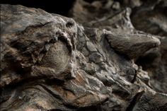 The nodosaur seems to flash a glare—an effect produced by the fossil's exquisitely preserved eye socket. | photograph by Robert Clark, National Geographic