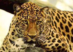 Wildlife Leopard Photography Nature Spotted Big by Celticcatphotos, $18.00