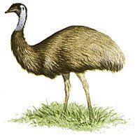 Benefits of Emu Oil - Willow Springs Emu Oil - Emu Oil Canada Pelican Art, Willow Springs, Cold Pressed Oil, Man Hunter, Emu Oil, Shaving Oil, Flightless Bird, Coffee Culture, Carrier Oils