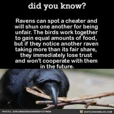 Ravens are the best! They know how it should be and keep it in check. Love them. Brilliant birds. ~storm_rider Raven Facts, Crow Facts, Bird Facts, Pet Raven, Raven And Wolf, Raven Bird, Smart Animals, Animals And Pets, Funny Animals