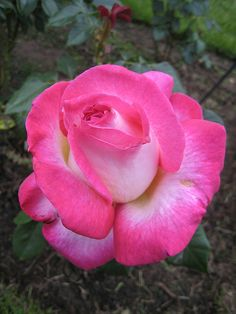 Rosa 'California Dreaming' - Hybrid tea rose