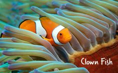 "Clown fish have a lot to live up to! After their leading role in the movie ""Finding Nemo"" they've become one of the icons of the Great Barrier Reef and are a common colourful sight. They live within the venomous tentacles of anemones hiding away from any potential predators, but always put on a playful show for snorkellers and divers."