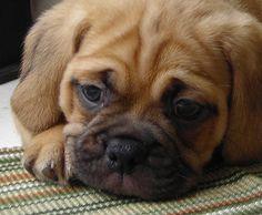 pug + beagle = puggle. cutest combination ever! #cute #puppies #puggle