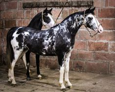 Paint -Criollo Horse - awesome markings - The Criollo, or Crioulo, is the native horse of Uruguay, Argentina, Brazil and Paraguay.