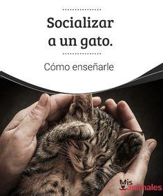 Socializar a un gato. Cómo enseñarle  Los gatos tienen fama de ariscos y de ser animales con mal carácter. Es por ello que muchos piensan que es difícil enseñar a un gato a socializar. #enseñar #socializar #adiestramiento #gato