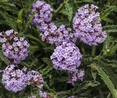 Container Size, Container Gardening, Metor Shower, Dwarf Lilac, Syringa, Proven Winners, How To Attract Birds, Verbena, Garden Inspiration