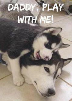 #Husky family   www.fordogtrainers.com