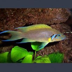 Lamprologus daffodil M Cm Tropical Aquarium, Tropical Fish, Aquarium Fish, Lac Tanganyika, African Cichlids, Angel Fish, Aquascaping, Aquariums, Ponds