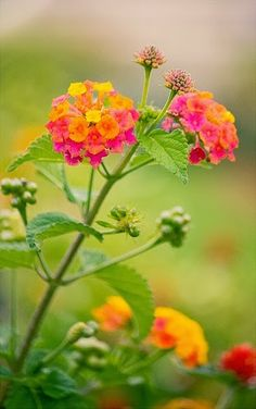 You can make new lantana plants from the one you have. Just break off a stem. A root emerges from a stem of lantana put in a container of water. This root appears 10 to 14 days after you place the stem in water. Once it is rooted, go ahead and plant it.