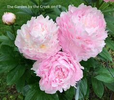 'Pillow Talk' Peony blooming in my garden