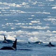News at Instagram @TheCVF As Arctic #IceMelts Orcas Move in For another year #Arctic sea ice will cover much less of the Arctic Ocean than it used to. And with less #ice comes more killer whalespredators that feed on other whales including some recovering species. In the #Canadian #Arctic there are increasing sightings of killer# whales or #orcas. The #climatechange driven pattern of lower-than-average ice is leading to major changes in the Arctic Ocean including an influx of orcas in…