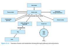 Basic principles of metabolism: catabolism, anabolism