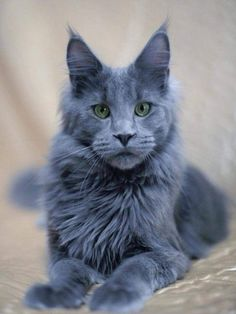 http://www.mainecoonguide.com/kittens/