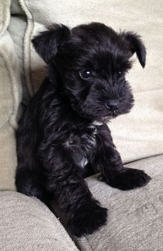 Ranked as one of the most popular dog breeds in the world, the Miniature Schnauzer is a cute little square faced furry coat. Cute Baby Dogs, Cute Little Puppies, Cute Dogs And Puppies, Baby Puppies, Cute Little Animals, Adorable Puppies, Doggies, Teacup Puppies, Hot Dogs