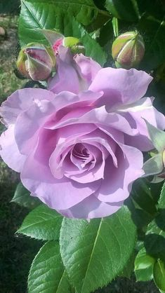Precious Tips for Outdoor Gardens - Modern Beautiful Rose Flowers, Pretty Roses, All Flowers, Flowers Nature, Exotic Flowers, Amazing Flowers, Rosa Rose, Hybrid Tea Roses, Flower Aesthetic