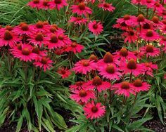 "Purple Coneflower (Echinacea) Zones 3-8...""Glowing Dream"". This variety is smaller at 18 inches, can be used in garden bed or containers, and has the most incredible watermelon pink color. TGG Tip: Cut back old flowers a couple times a week, and you will be rewarded with many more blooms and a neater plant."
