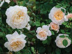 David-Austin's-Crocus-Rose