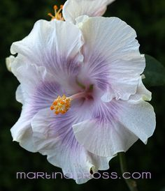 Hibiscus Rosa Sinensis Tahitian Princess
