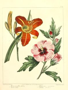Daylily and hibiscus ~ The new botanic garden, 1812.