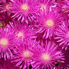 Ice plant - Drought Tolerant Front Yard Lanscaping - Sunset Mobile
