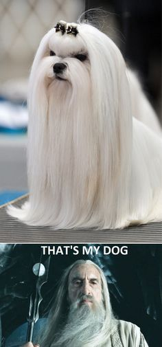 Saruman's Dog - Why are we not raising these dogs to harvest their hair for wigs or costume hair?  Do you know how hard it is to get really good LONG hair for costumery?