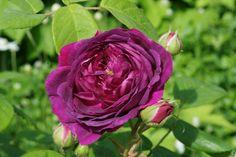 Rosa 'The Bishop' / Centifolia Rose / Rosette-shaped flowers of cerise-magenta / Strong fragrance / 4 x 3ft (1790)