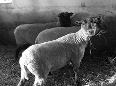 My sheep.