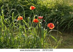 Poppies in the grass in a sunny day - stock photo