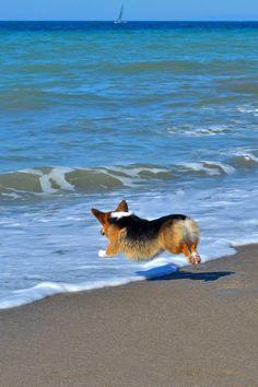One small step for man, one giant stubby leap for Corgidom // Beaches love Corgis