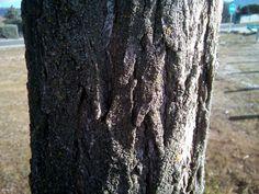 Robinia pseudoacacia L. (Falsa acacia).  Árbol caducifolio que puede alcanzar hasta 25 m. de altura.  En el ejemplar de las fotografías se pueden observar los frutos, así como un detalle de la corteza.