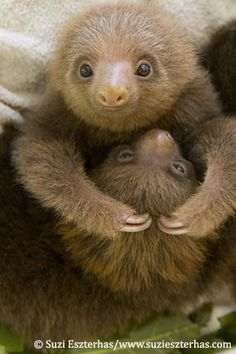 BABY SLOTHS!!! So cute :) planning on visiting this sloth rescue center while I'm in Costa Rica