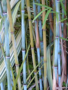 Himalayan Blue bamboo, it's so beautiful and I am lucky to have this in my yard!!!