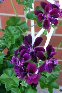 geranium ivy single purple