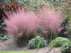 Muhlenbergia Capillaris...Muhly Grass~ also known as Cotton Candy Grass...Withstands heat, humidity, poor soil and even drought. Very easy to grow, it reaches a mature height of 3-4 feet tall and gets 3-4 feet wide. Grows in all U.S zones. Just got one of these - hope it grows!
