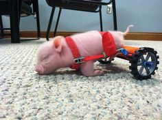 Disabled piglet Chris P Bacon uses K NEX   Pet   Gear