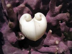 curled shell (heart cockle) on purple coral